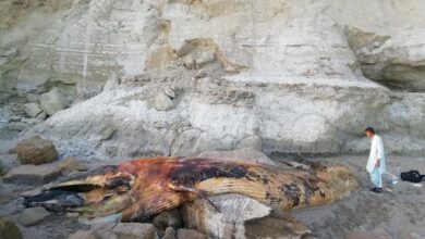 Photo of 31 Feet Long Entangled Whale Found Dead Along Balochistan Coast
