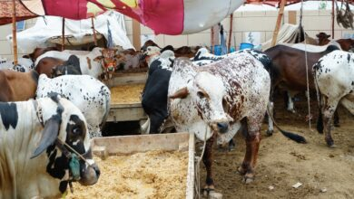 Photo of کراچی :عیدالضحی میں 6 روز باقی ،جانوروں کی تعداد 6 لاکھ ہوگئی
